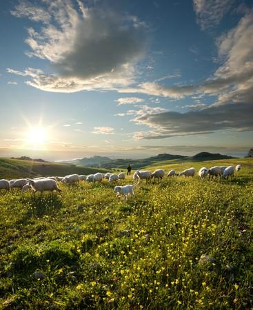 pastor de ovejas: pastor con perros y ovejas que pastan en el campo de flores al amanecer Foto de archivo