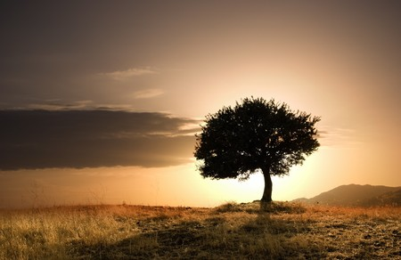 mood moody: solitary oak tree in golden sunset