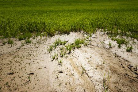 Sandy soil: Las plantas j�venes que luchan por crecer en la tierra arenosa