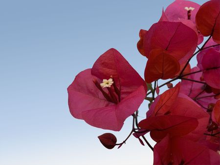 flower of bougainvillea isolated on sky  photo