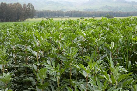 leguminous: landscape for plants luxuriant in field of broad beans