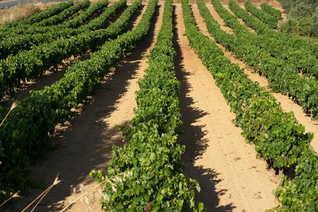 viniculture: rows of plants of grapevine of Wine Roads of Nemea, Greece