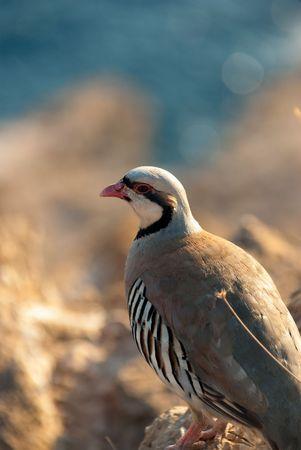 kuropatwa: Rock Partridge Cape Sounion, Grecja