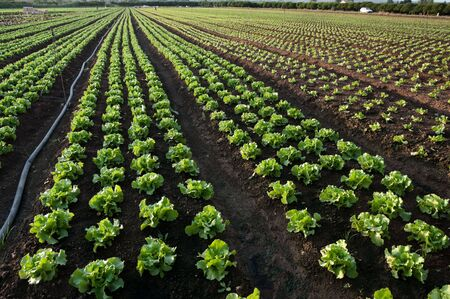 cultivated land to lettuce (horizontal photo