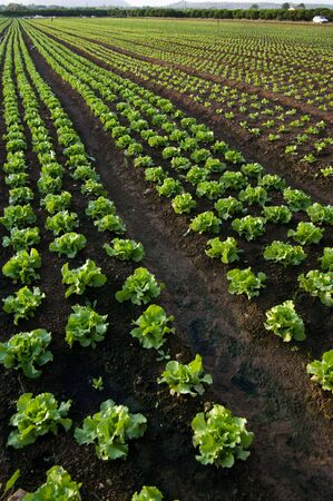 cultivated land to lettuce (vertical photo