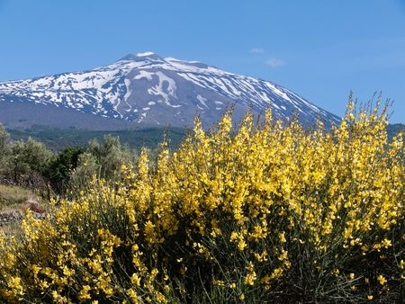 Landscape of volcano Etna partly covered by snow and a genista with the spike with yellow flower in spring photo