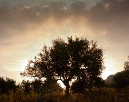agrarian: silhouette of olive tree at dawn