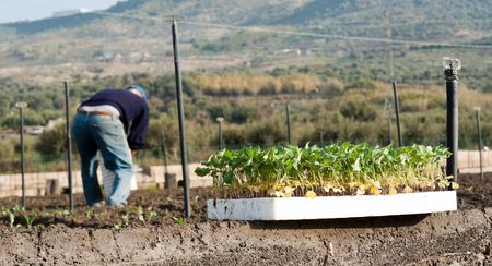 boor: group of young plants, on background blurred farmer to work