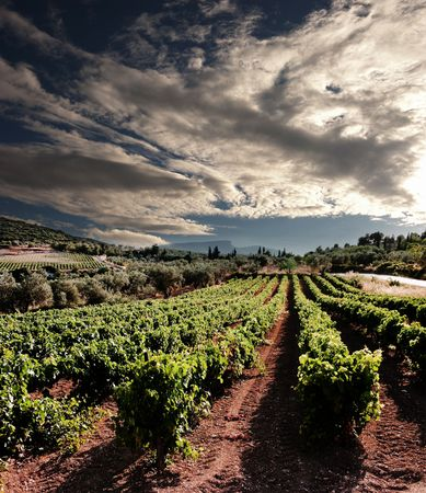 dramatic sky on rows of vines at sunset in Nemea, Greece