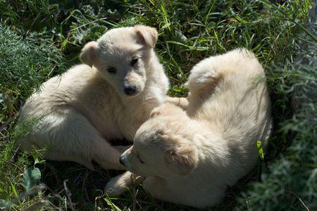domestics: two puppies of maremmano dog on the grass
