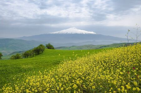 flowers of canola and grfeen grass on background volcano Etna covered by snow and overcast sky photo