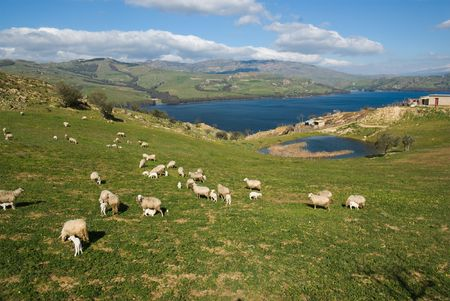 a flock of sheep is grazing in a idyllic green valley on shoreline of a blue lake Stock Photo - 6593646