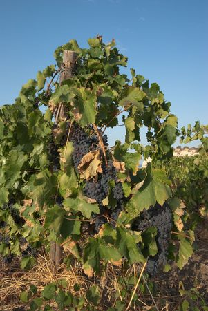 bunches of black wine grapes ripen in the sun of Sicily photo