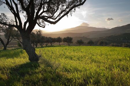 the sun is going down between the branches of an olive grove Stock Photo - 6833778