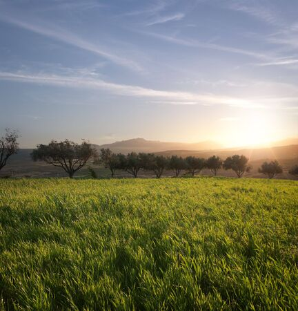 the sun is setting on a field of grass and row of olive trees Stock Photo - 6833780