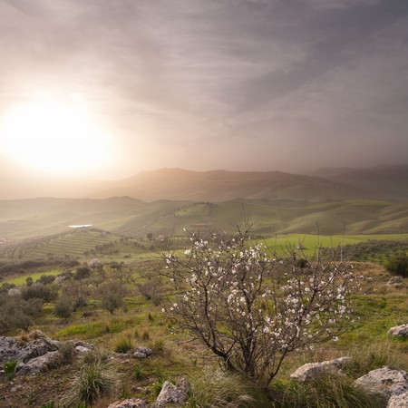 almond tree blooming in landscape of sicilian hinterland in a misty sunset photo
