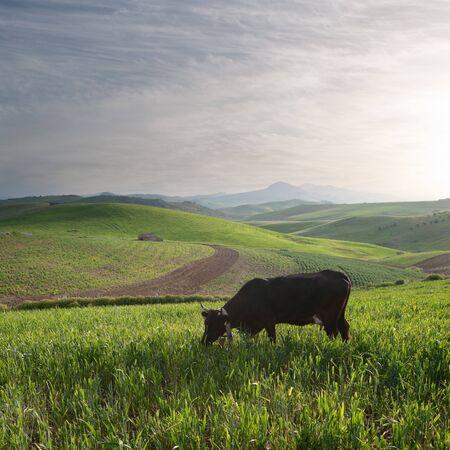 one cow is grazing in a cereal field at the sunset photo
