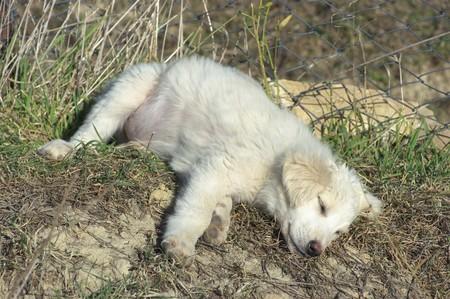 domestics: a white puppy of maremmano dog sleeping on the grass