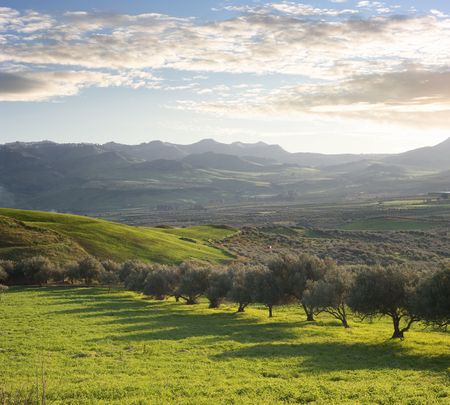 mount of olives: a green valley with olive trees of sicilian hinterland at the twilight