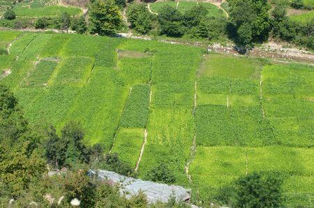 aerial view of green tobacco fields photo