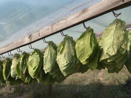 nervure: las hojas de tabaco se recolectan y son colgantes a secar al sol bajo una l�mina de pl�stico  Foto de archivo