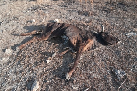 a dead cow in the dirt barren Stock Photo