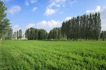 poplar: trees on the horizon in a sunny summer day