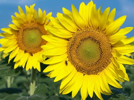 closeup of two yellow sunflowers photo