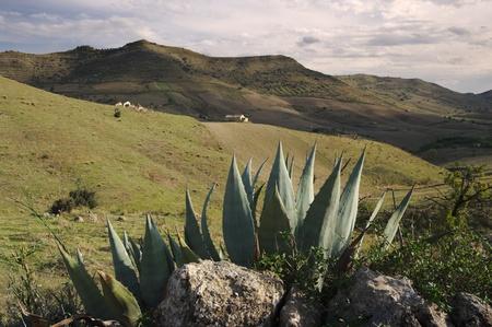 sycylijski: obszarów wiejskich Sycylijskiej krajobraz z agaves