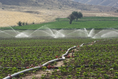 a pipe for irrigation through a field of young plants