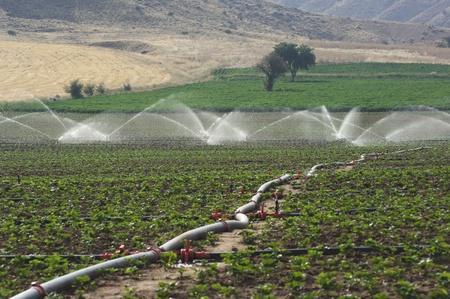 tuberias de agua: una tuber�a de riego a trav�s de un campo de plantas j�venes