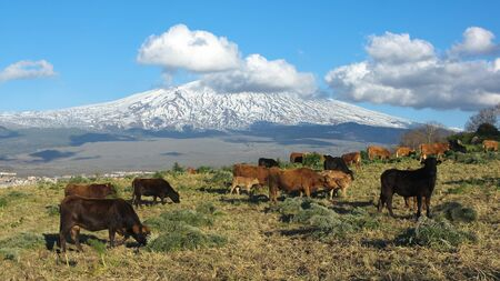 bucolic landscape with herd of cattle and snowy volcano Etna photo