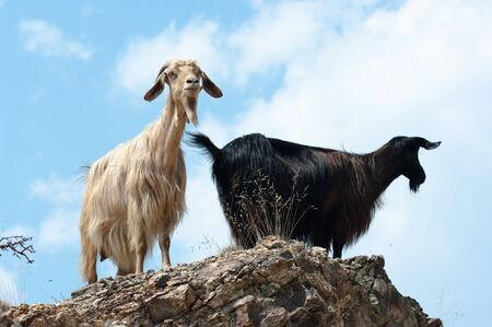 two goats pause on top of rock