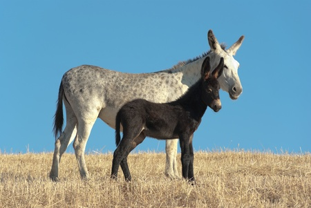 a white donkey and his black foal against blue sky Stock Photo - 10778354