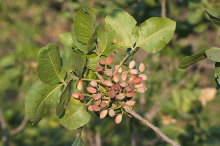 pistachios: sicilian pistachio on the tree