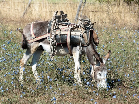 a donkey with an old saddle is cropping the grass in a field of blue flowers photo