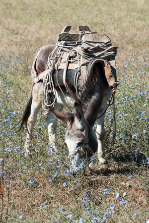 wild donkey: a donkey with an old saddle is cropping the grass in a field of blue flowers Stock Photo