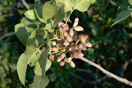 sicilian pistachio on the tree