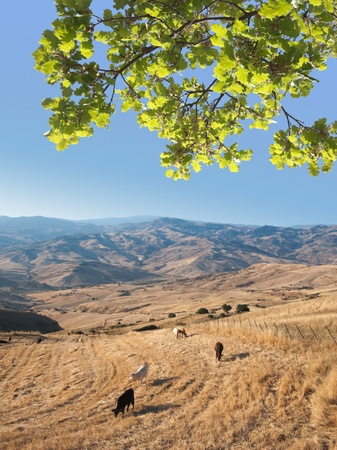 idyllic landscaped with cattle grazing under oak frond in the blue sky Stock Photo - 11813206