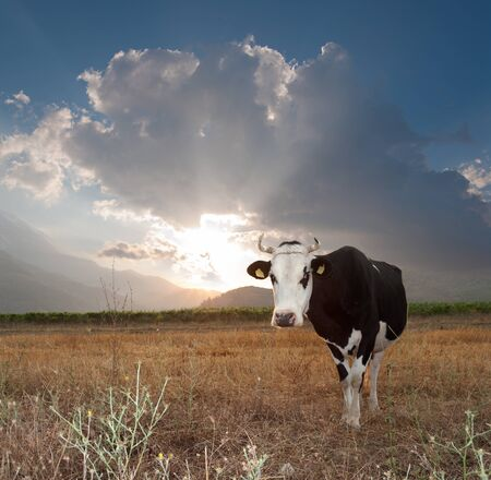 withe: cow black and withe behind the sun sets Stock Photo