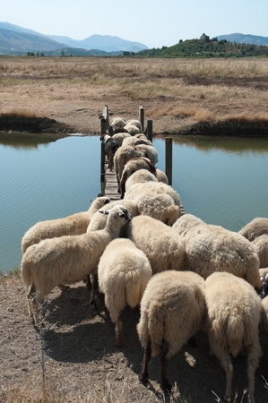 flock of sheep is crossing a wooden bridge Stock Photo - 11813200