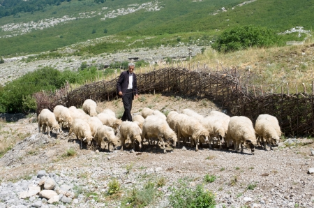Boge, Albania - August 05, 2012  a shepherd is leading flock to pasture along the dirt road from Boge village to the Theth Valley