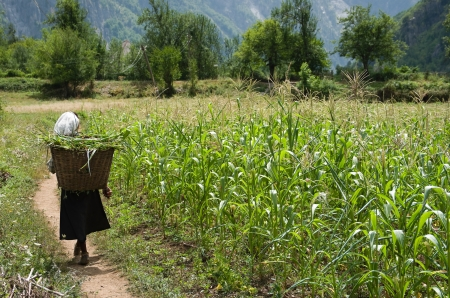 old woman in traditional dress and veil with a pannier on her shoulders through a path in the middle of a corn field Stock Photo