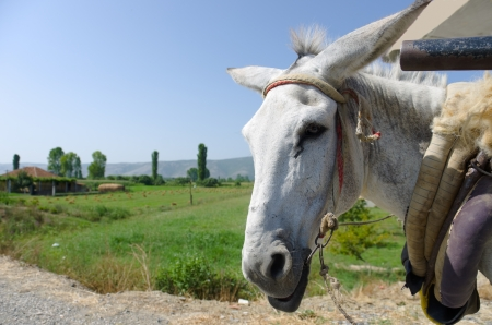domestic scene: white donkey portrait and blurred albanian landscape Stock Photo