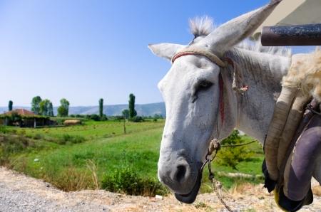 albania: white donkey portrait and blurred albanian landscape Stock Photo