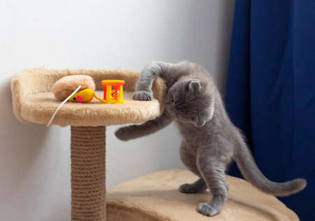 Tabby kitten playing with silver rattle on gray