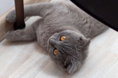 Gray fluffy cat is. The concept of pets. Banner