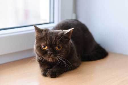 A young British cat sits at home Stock Photo