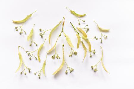 Tiglio foglie e fiori e frutti feto sui rami su sfondo isolato per la composizione del design