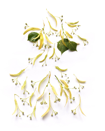 Linden leaves and flowers and fruits fetus on branches on isolated background for design composition Stock Photo